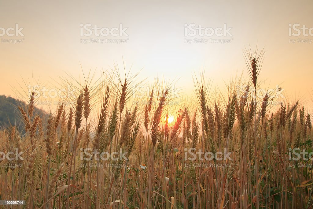 Bales in field and sunset, soft focus royalty-free stock photo