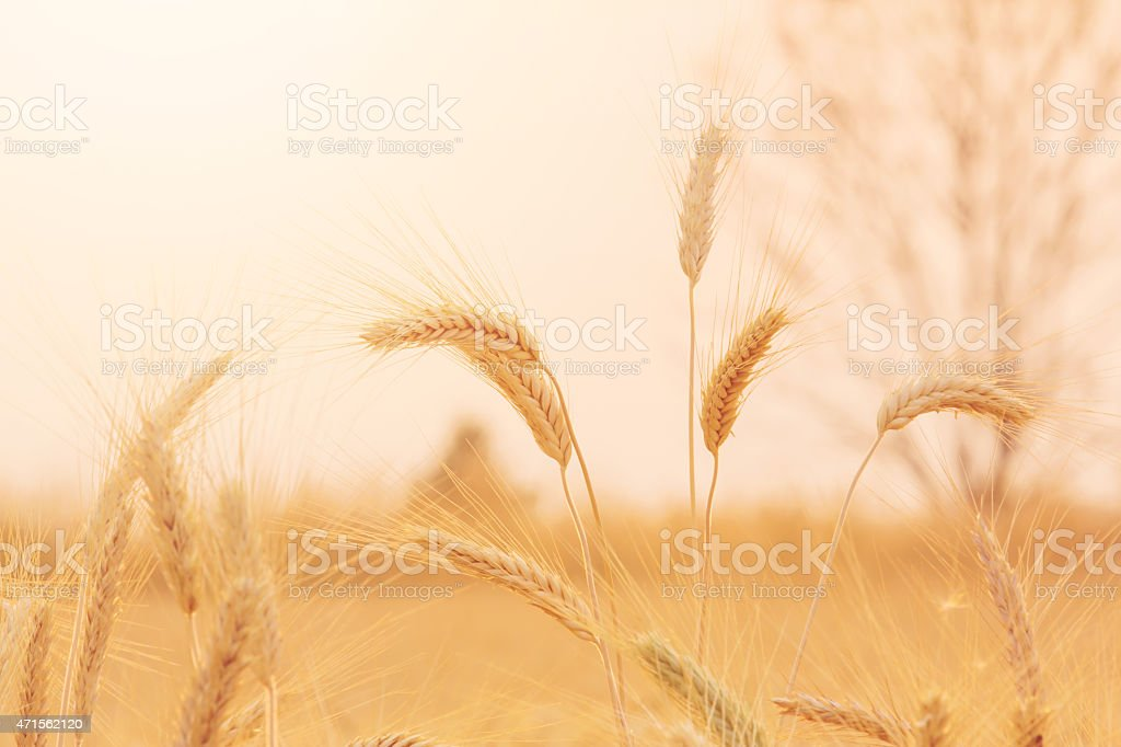 Bales in field royalty-free stock photo