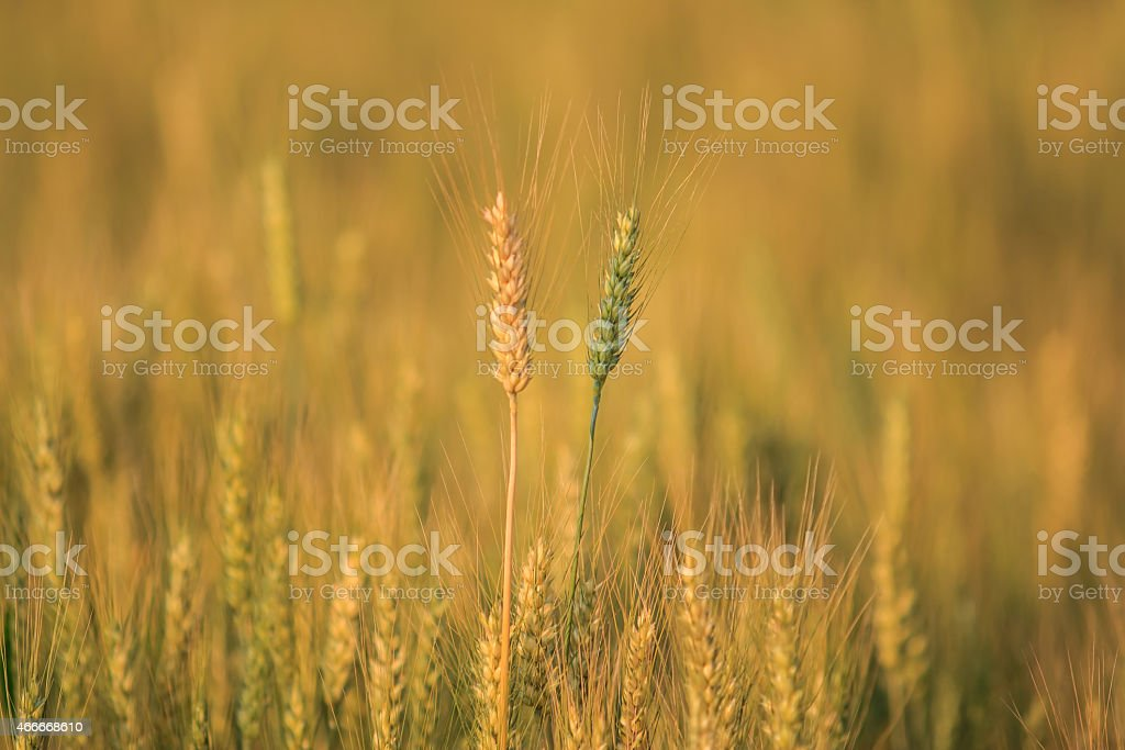 Bales in field,soft focus royalty-free stock photo