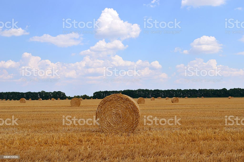 bales of hay in the field stock photo