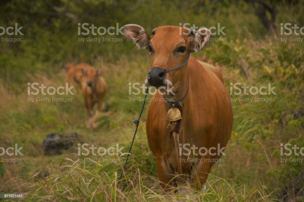 Bali cows grazing stock photo