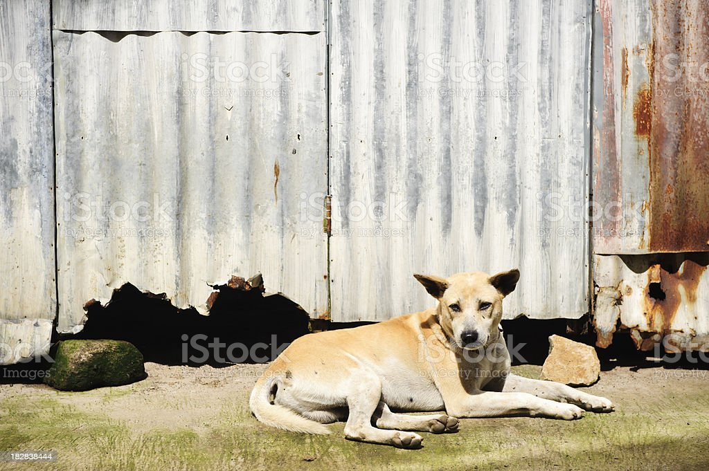 Bali dog in front of rusted corregated iron wall stock photo