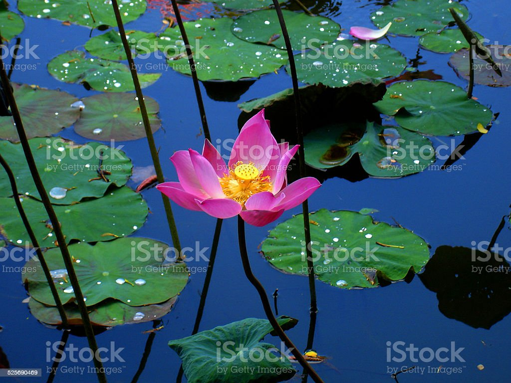 Bali Lotus royalty-free stock photo