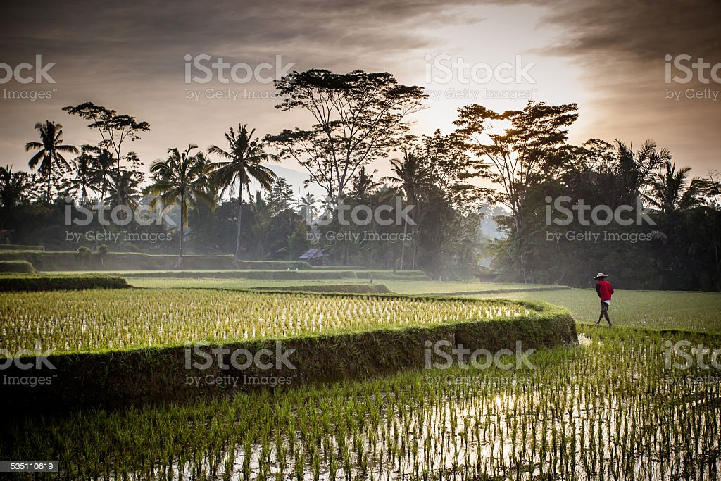 Bali Rice Fields stock photo