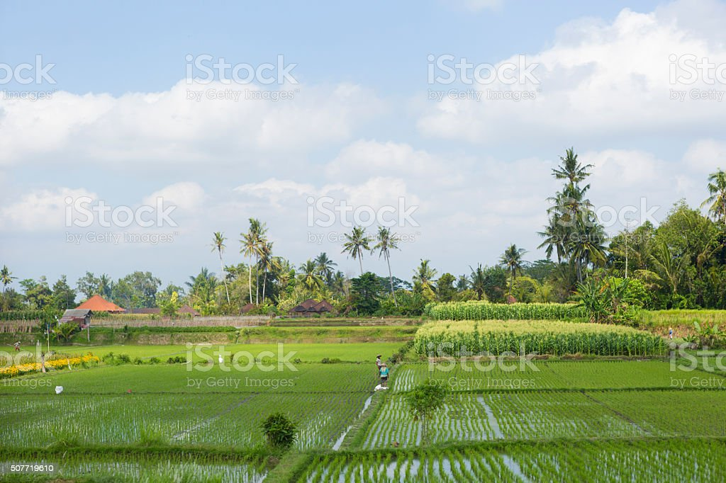 Bali Rice terrace with workers stock photo