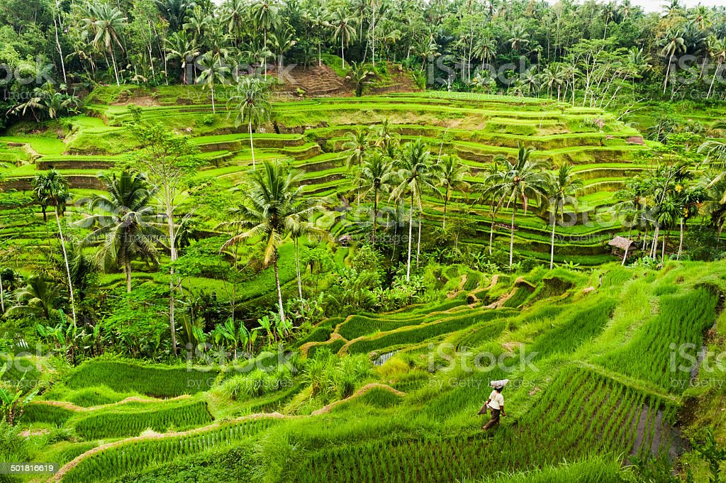 Bali Rice Terraces stock photo