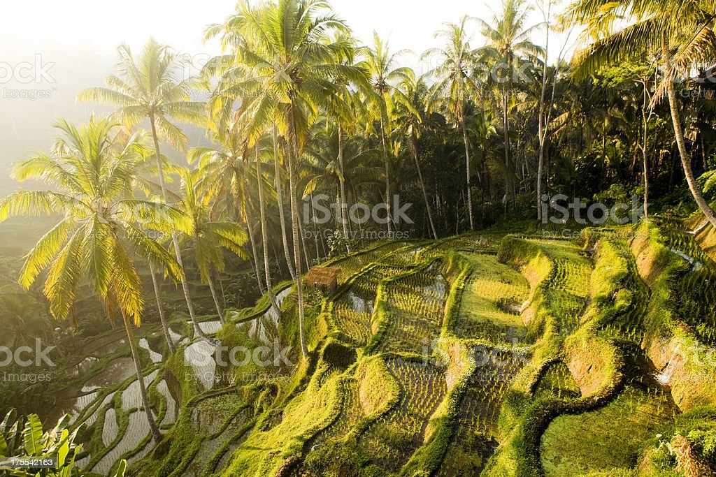 Bali Ubud Indonesia rice paddy stock photo