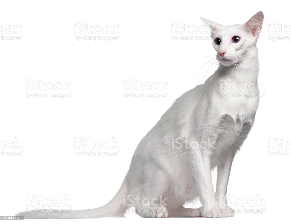 Balinese cat, 11 months old, sitting stock photo
