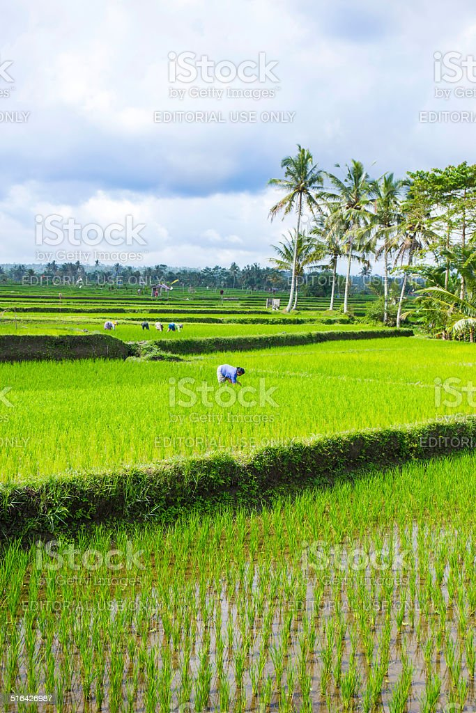 Balinese farmer is working in a rice field, Bali, Indonesia stock photo