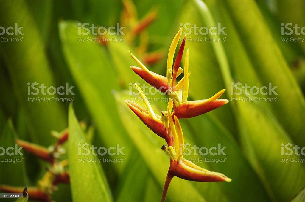 Balinese heliconia flower stock photo