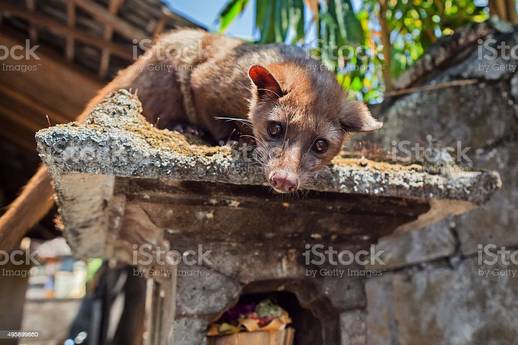 Balinese Luwak viverra making most expensive coffee in the world stock photo