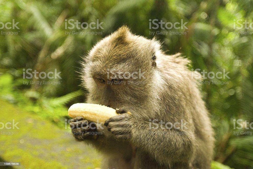 Balinese monkey with banana royalty-free stock photo