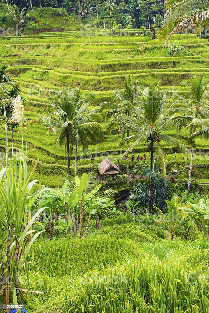 Balinese Rice Paddy Terraces royalty-free stock photo