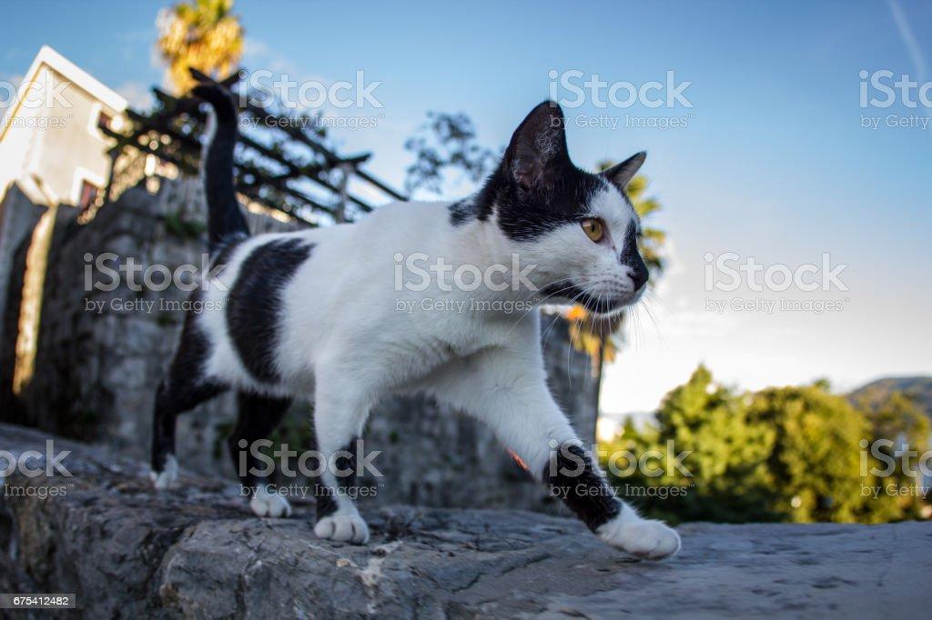 Balkan cat, Herceg-Novi old sity stock photo