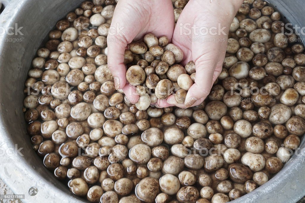 Ball mushrooms royalty-free stock photo