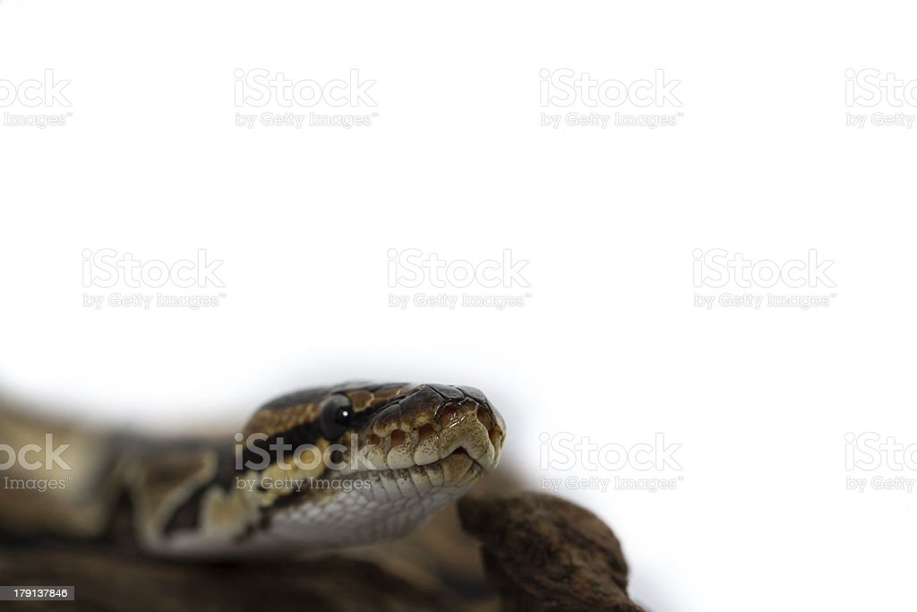 Ball Python close up (Python Regius) royalty-free stock photo