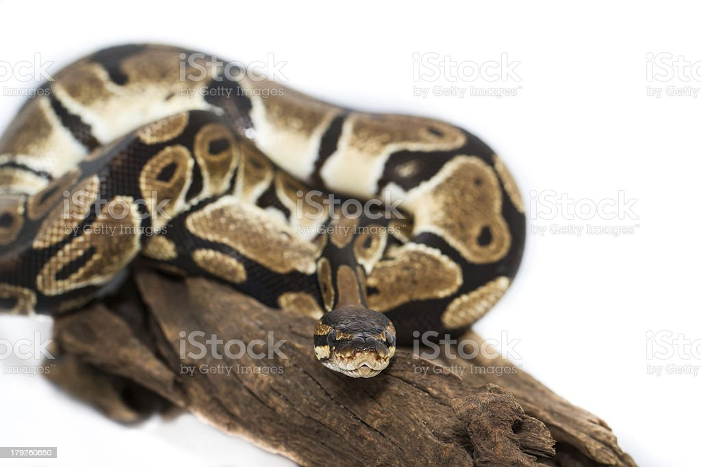 Ball Python close up (Python Regius) royalty-free stock photo