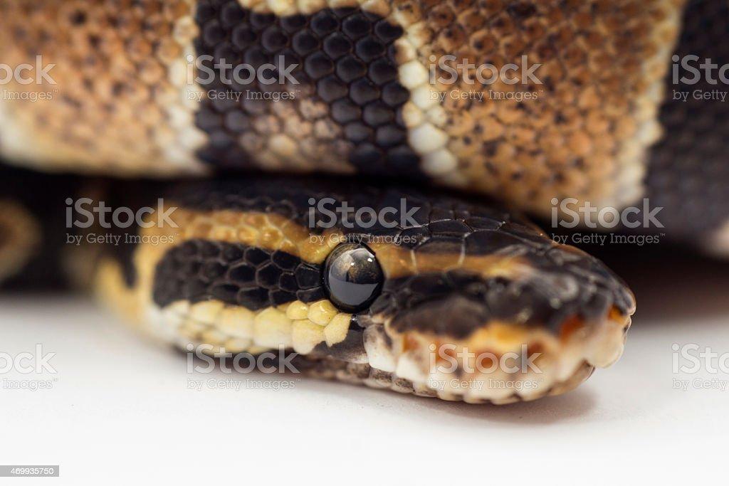 Ball python close - up stock photo