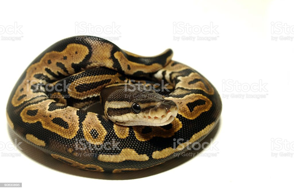 ball python coiled up stock photo