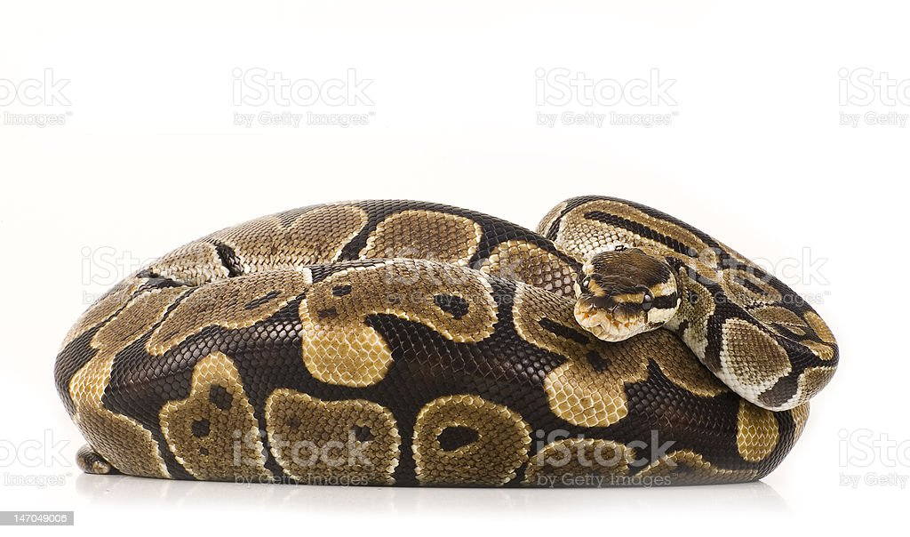 Ball Python royalty-free stock photo