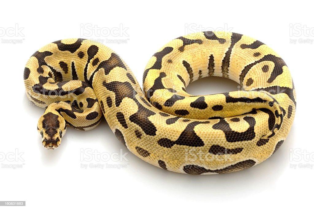 ball python stock photo