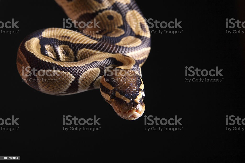 Ball Python stock photo