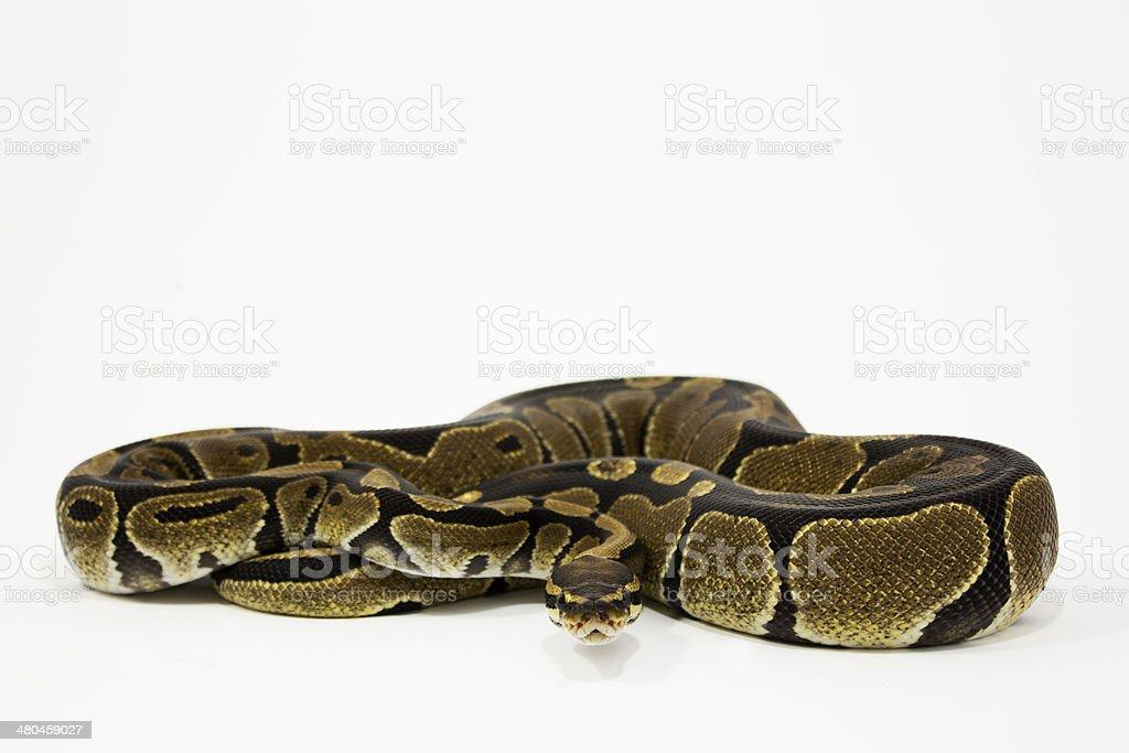 Ball python (Python Regius) royalty-free stock photo