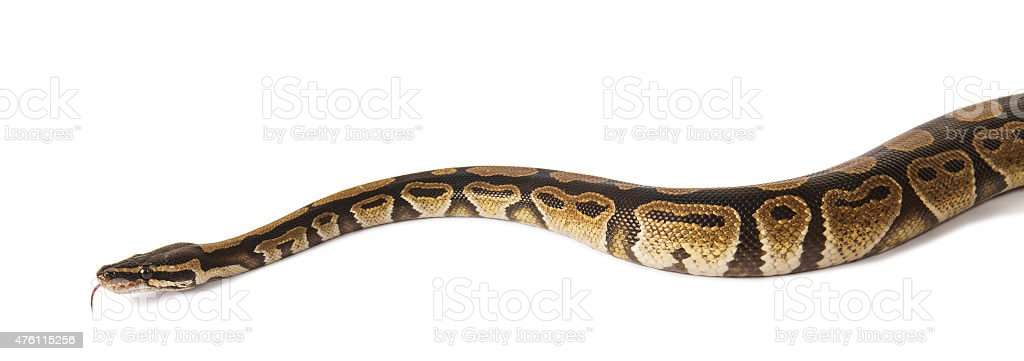 Ball python snake isolated on white stock photo