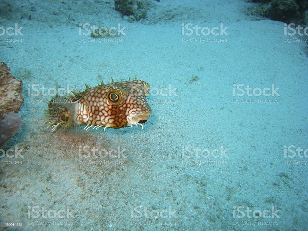 Balloon fish stock photo