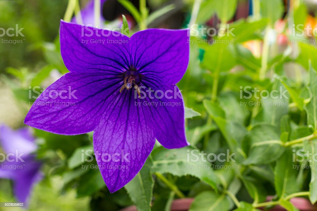 Balloon flower or Platycodon grandiflorus stock photo