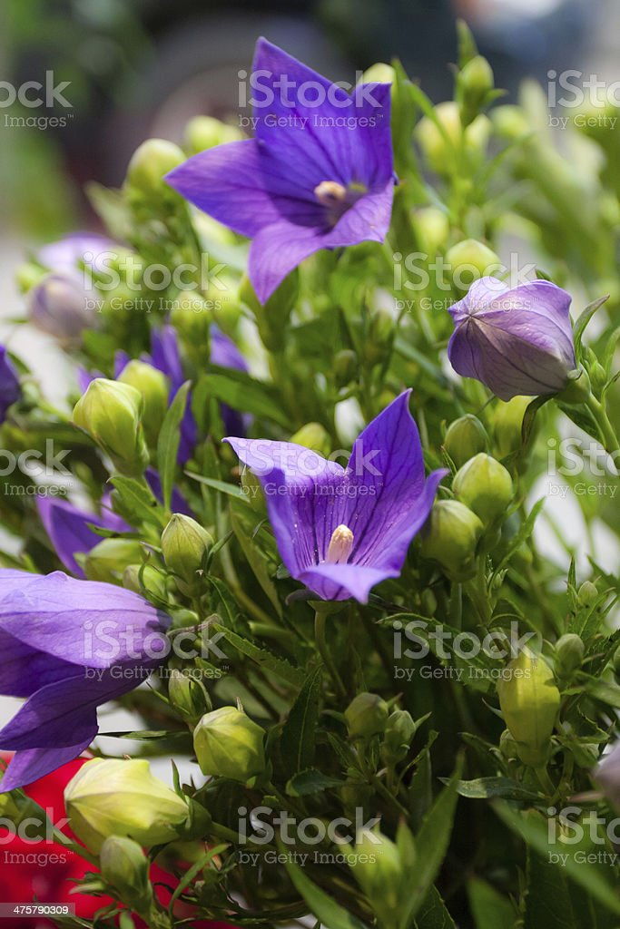 balloon flower stock photo