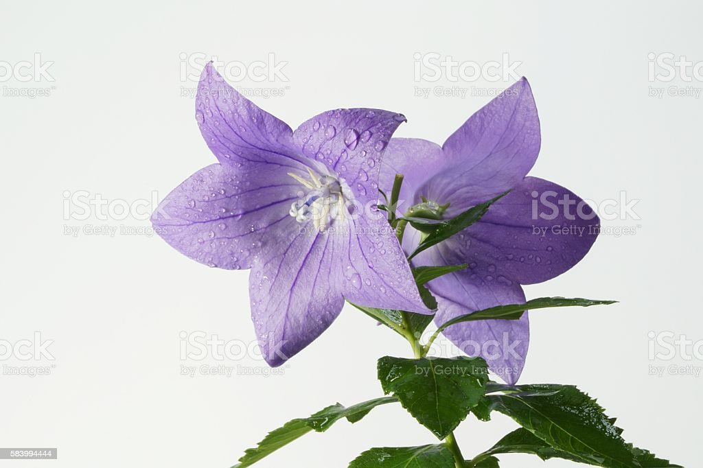 Balloon Flower (Platycodon Grandiflorus Blue) stock photo