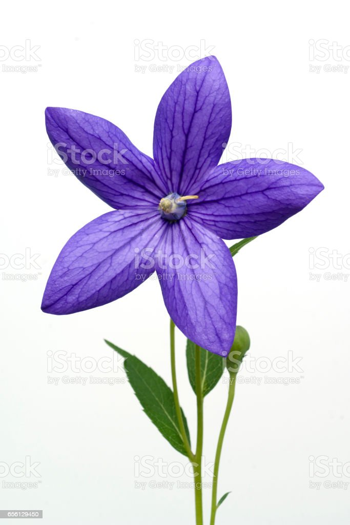 Balloon flower; Platycodon; grandiflorum stock photo