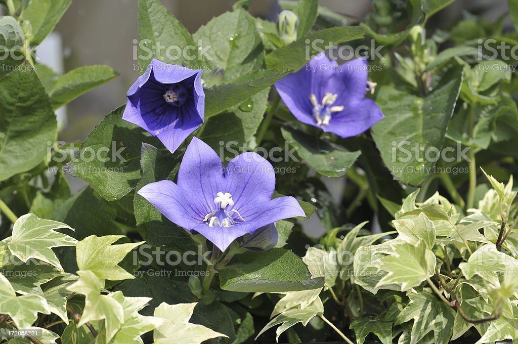 Balloon Flowers stock photo