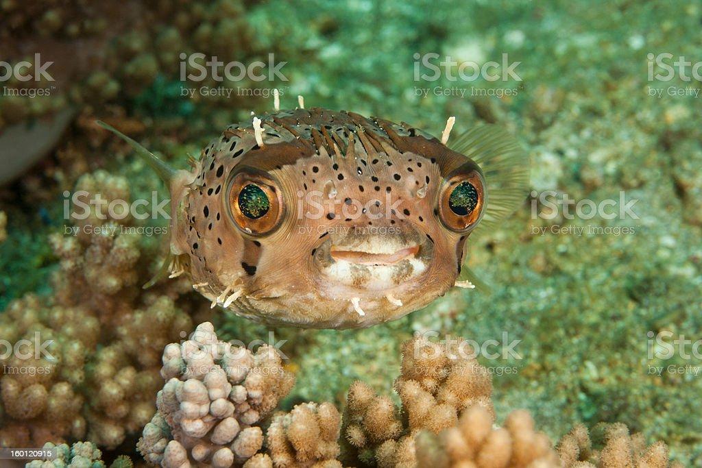 Balloonfish stock photo