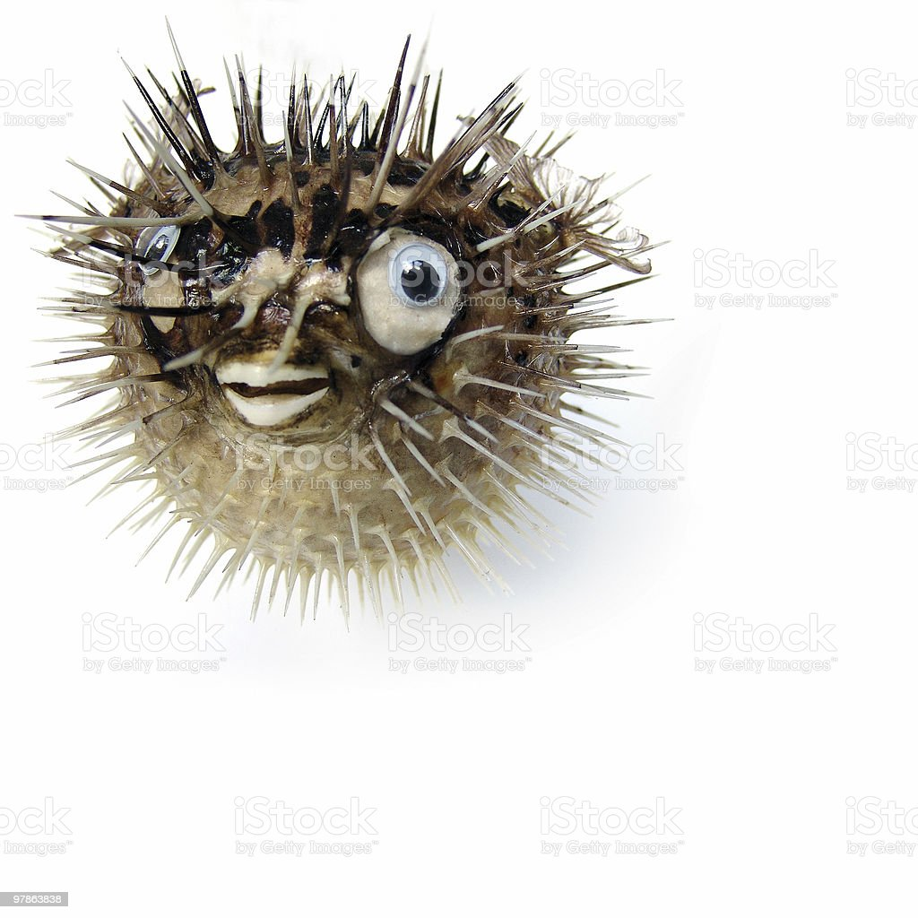 Balloonfish -trying to impress stock photo
