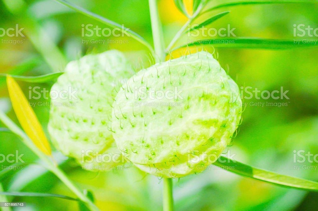 balloonplant, balloon cotton-bush , swan plant stock photo