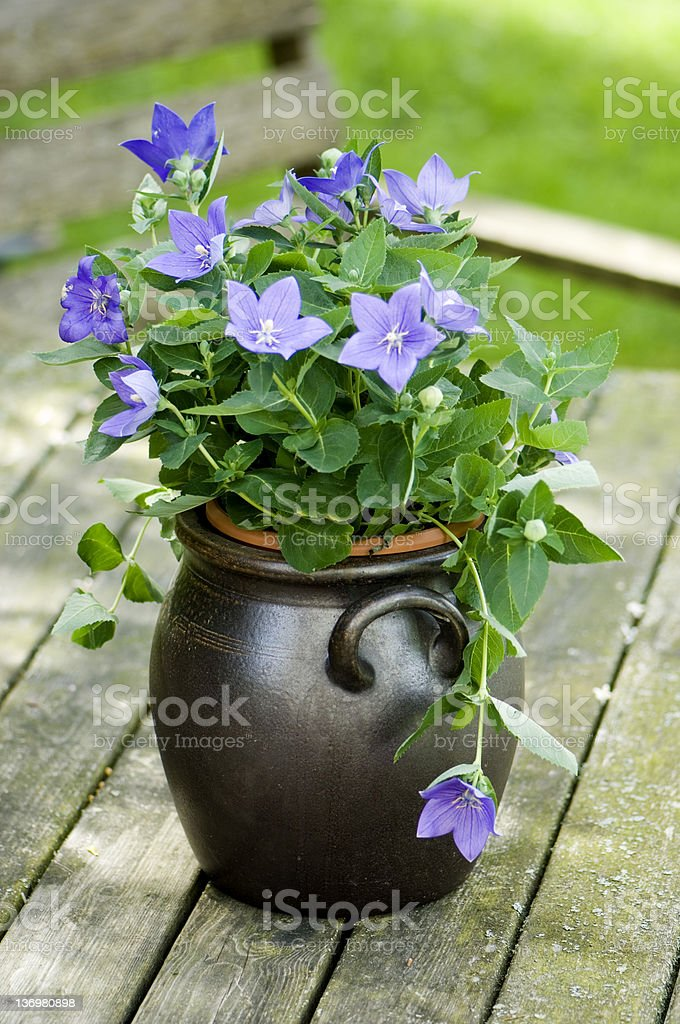 baloon flower in a urn stock photo