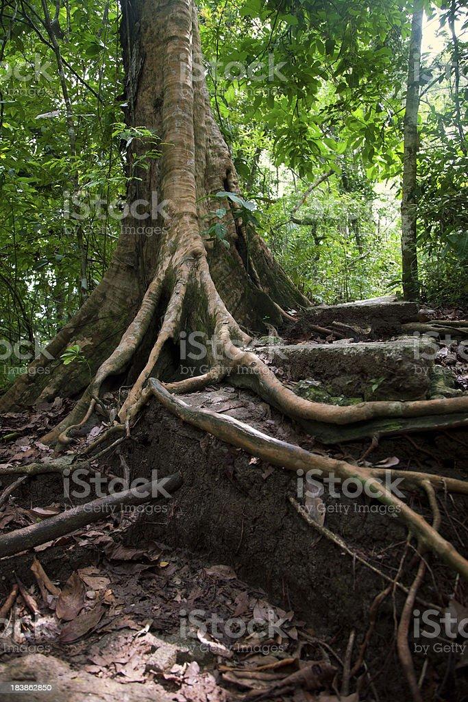 Balsa Tree stock photo