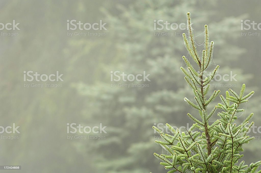 balsam fir in morning fog royalty-free stock photo