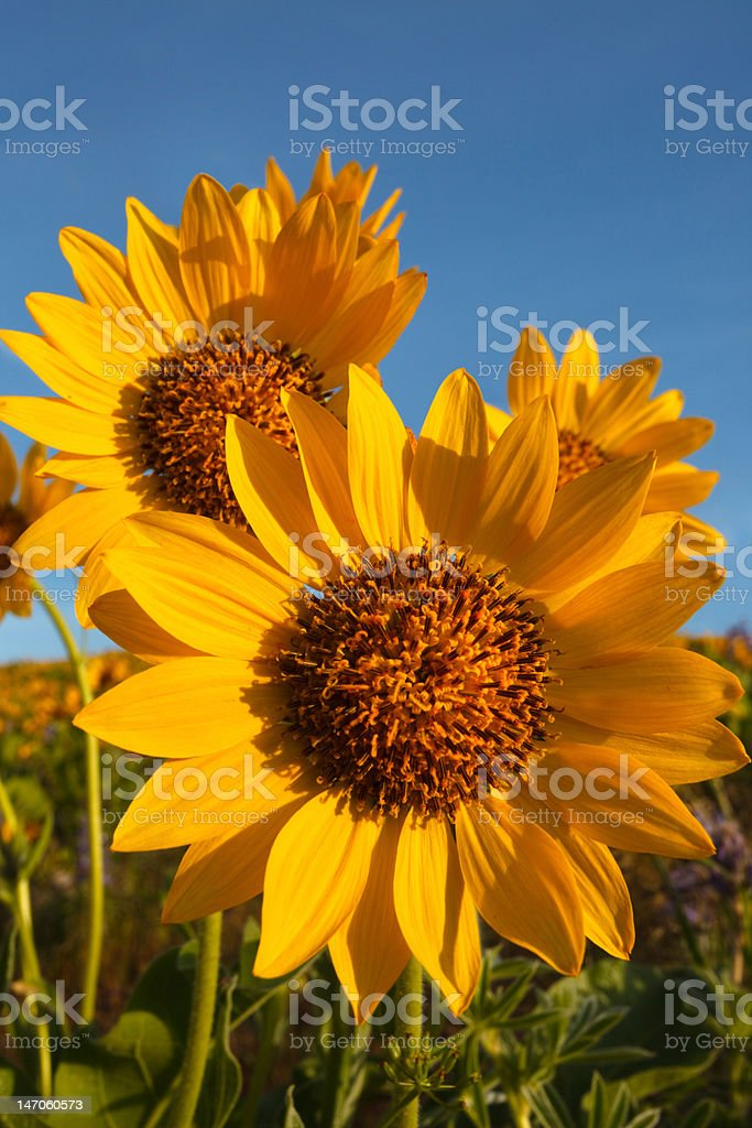 Balsam root sunflowers on the sunny day stock photo