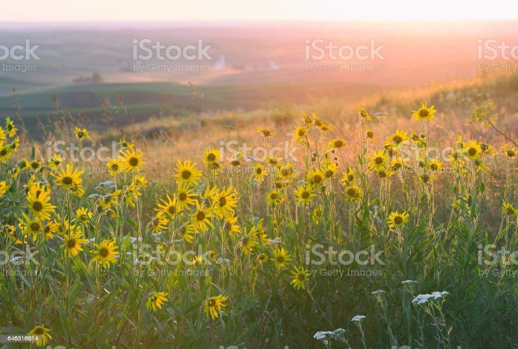 Balsamroot at Sunset Steptoe Butte stock photo