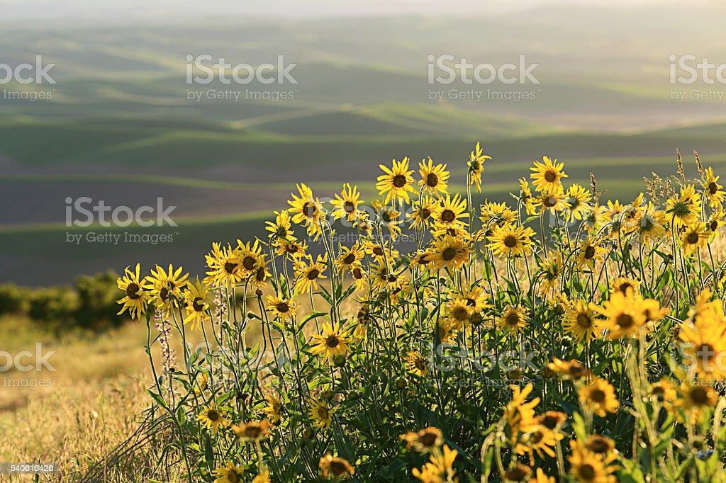 Balsamroot Blooms stock photo