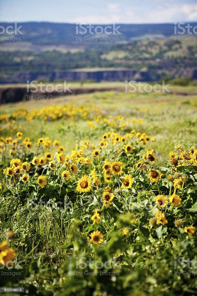 Balsamroot in Bloom stock photo