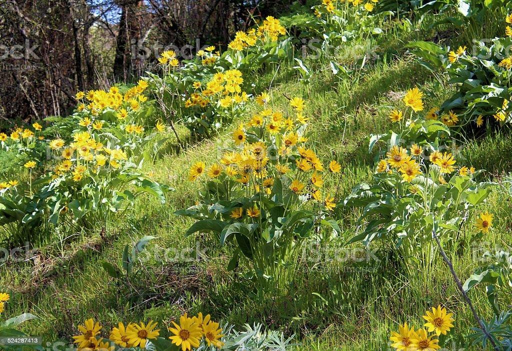 Balsamroot on sunny slope stock photo