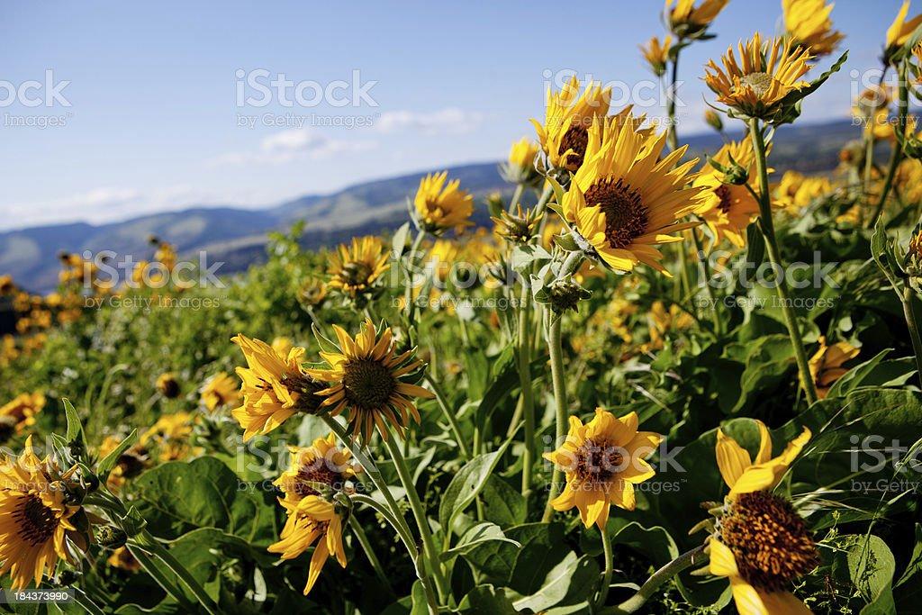Balsamroot wildflowers stock photo