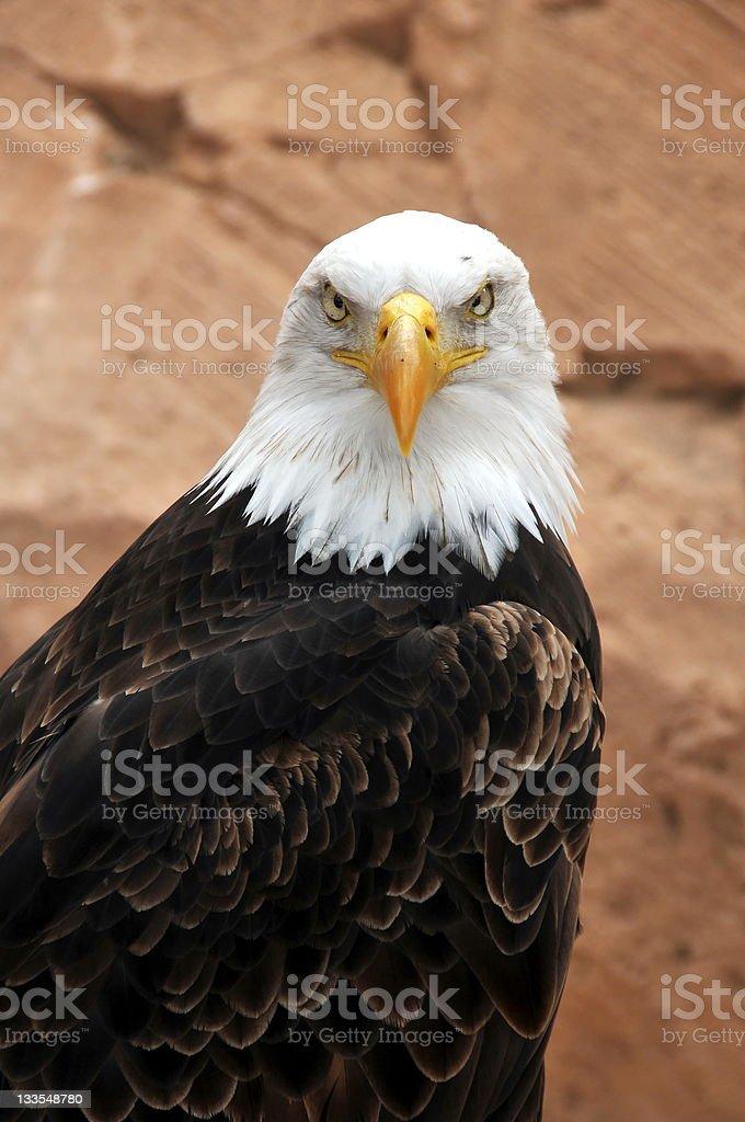 Balt eagle stock photo