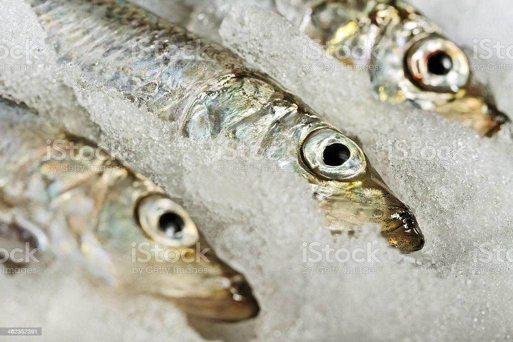 Baltic herring. stock photo