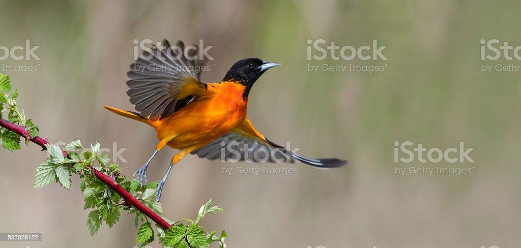 Baltimore Oriole in flight, male bird, Icterus galbula stock photo