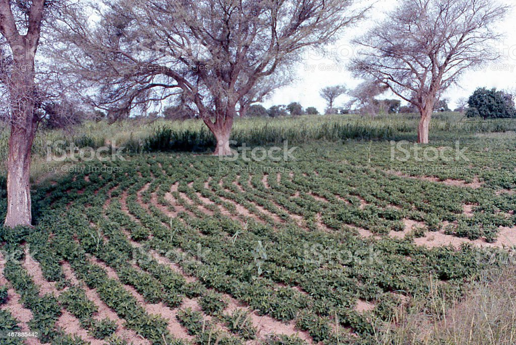 Bambara Groundnut field Acacia Albida Trees Burkina Faso West Africa stock photo